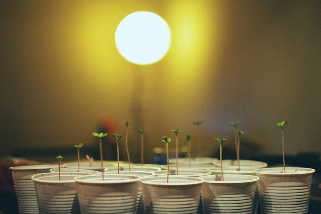 Cultivar en un club social de cannabis